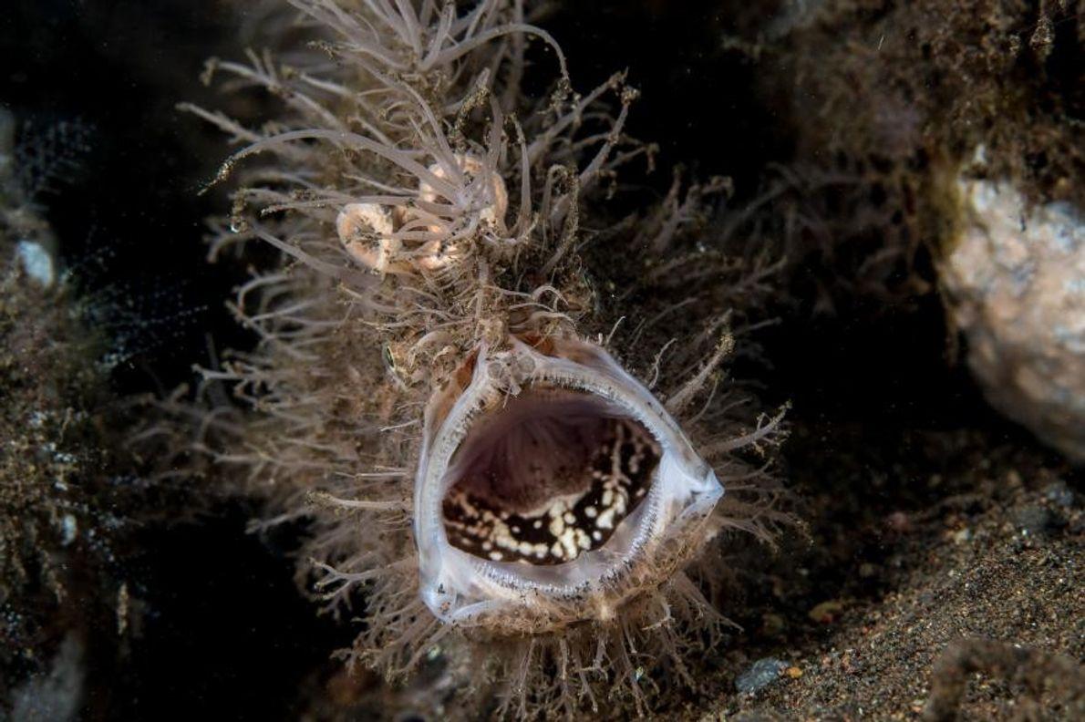 Un fascinant poisson-grenouille strié à Tulamben, sur l'île de Bali, en Indonésie.