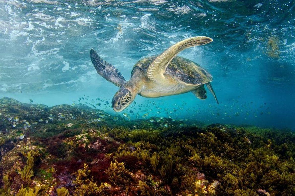 Une tortue explore les fonds sous-marins.