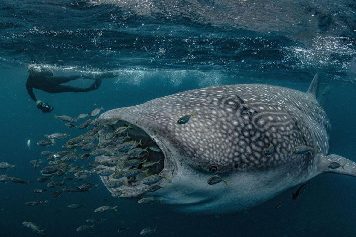 Un requin-baleine à Exmouth, en Australie.