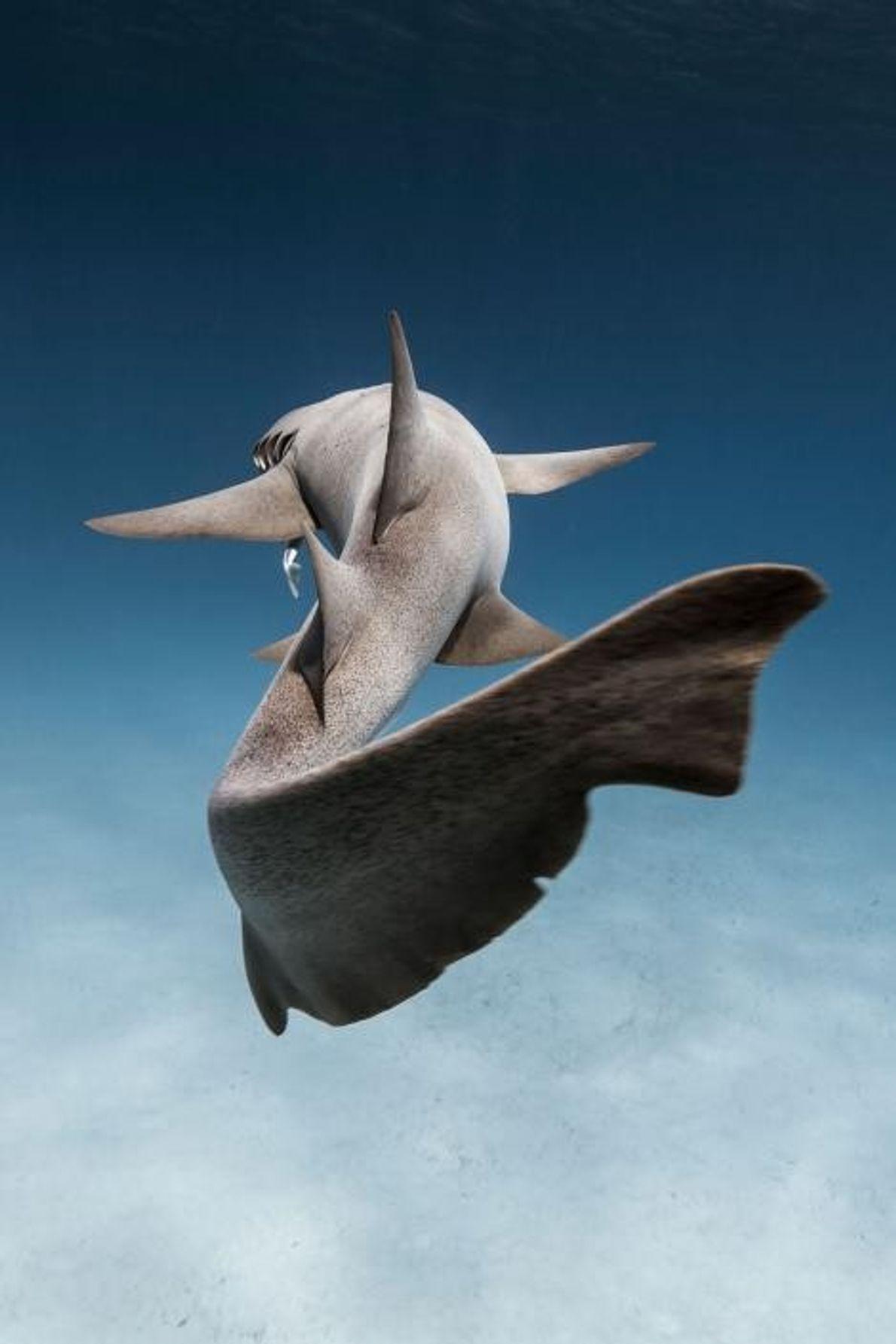 Un requin-nourrice à Alice Town, dans les Bahamas.