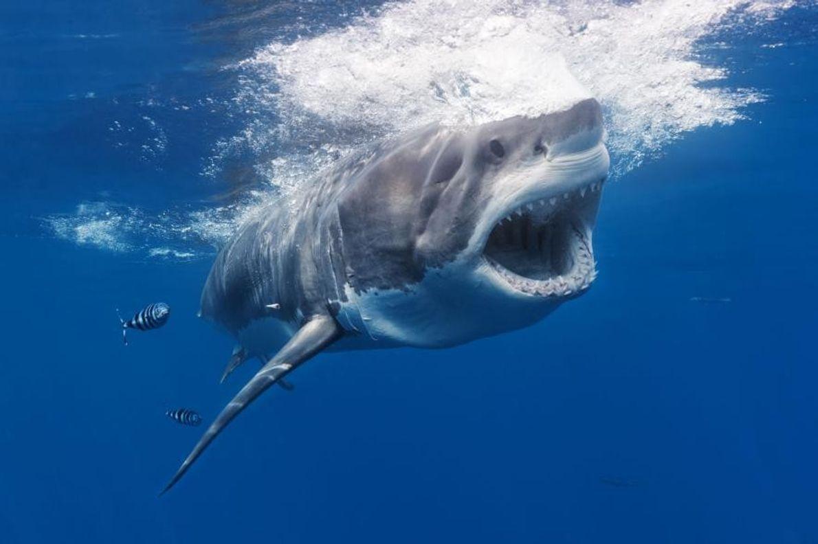 Un grand requin blanc se découpe sur le fond bleu océan.