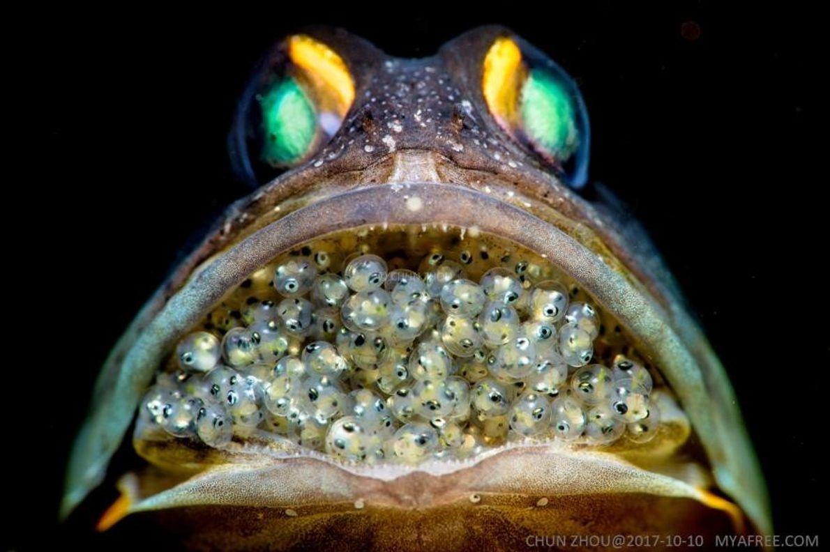 Un poisson de l'espèce Opistognathidae aux reflets fluorescents et à la bouche béante.