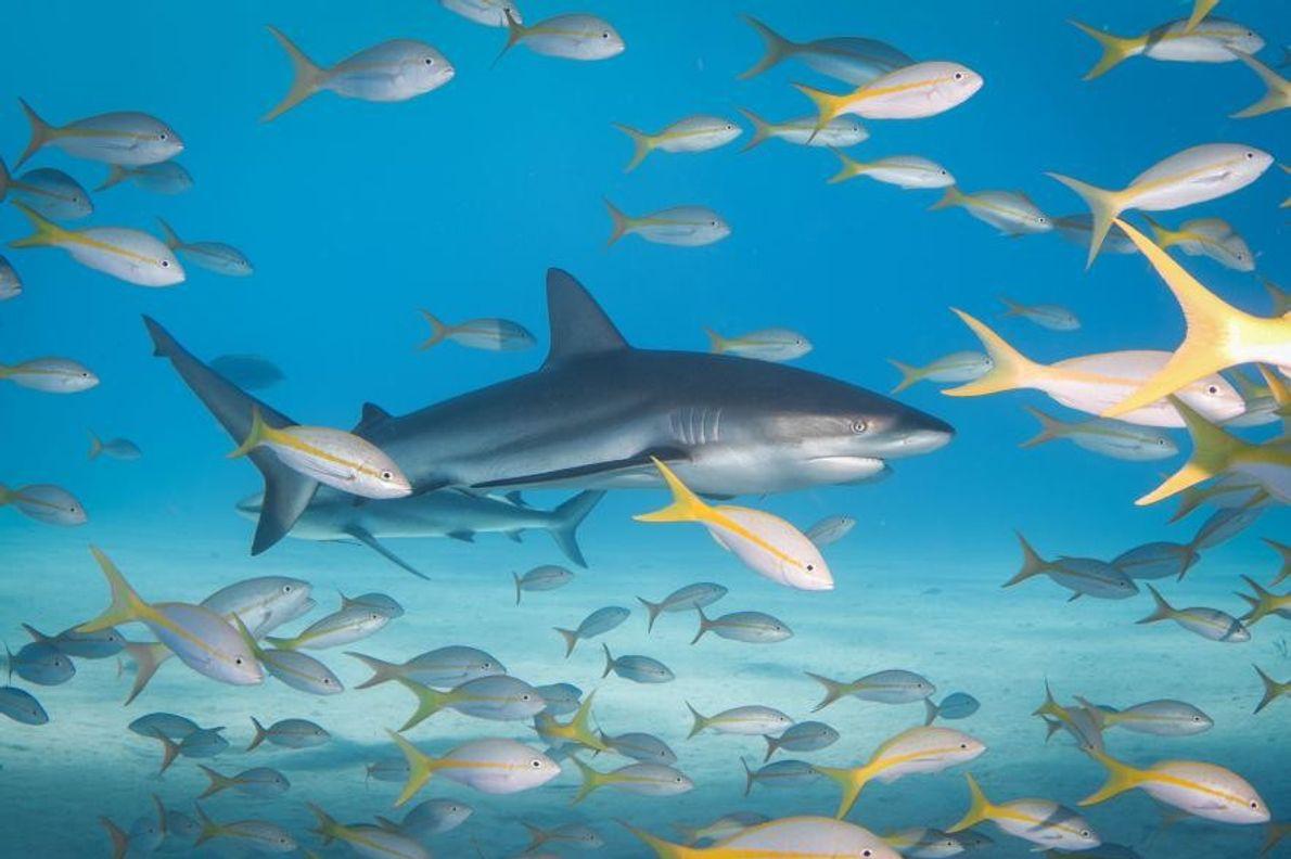 Un requin des récifs nage au milieu de vivaneaux à queue jaune dans les Bahamas.