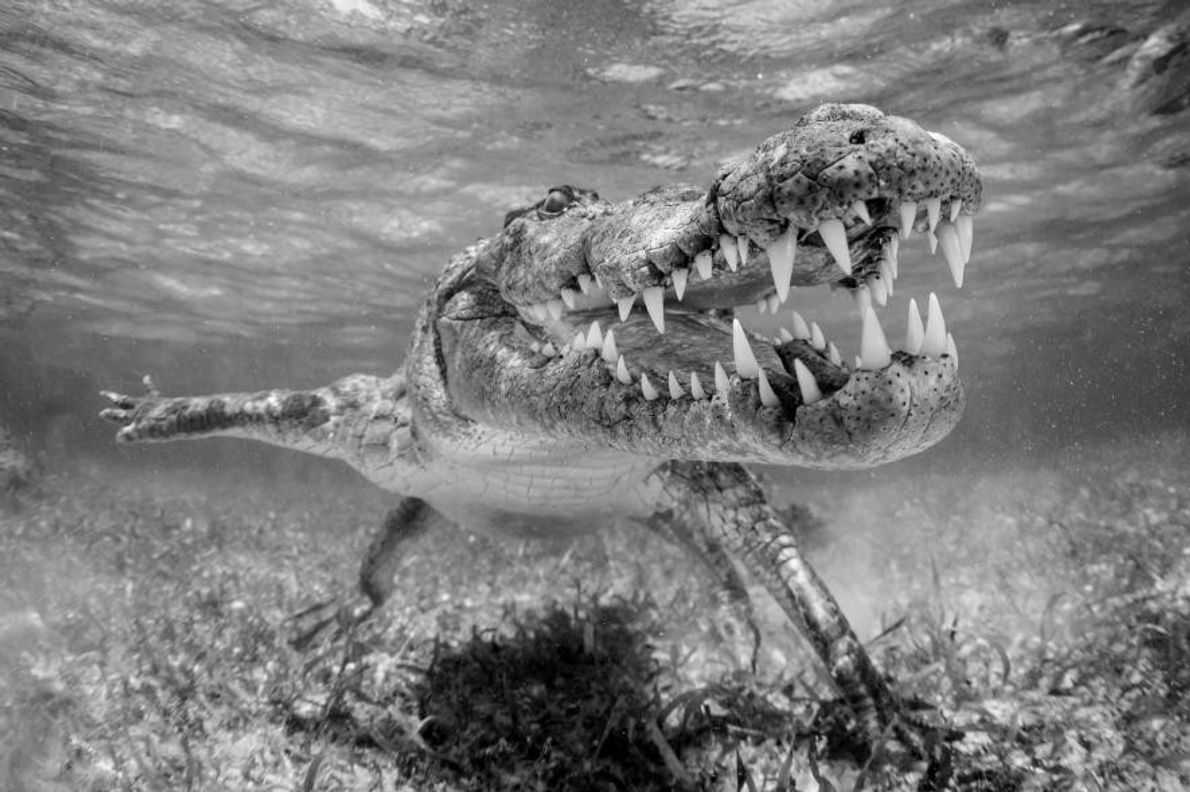 Un crocodile d'Amérique à Xcalak, au Mexique.