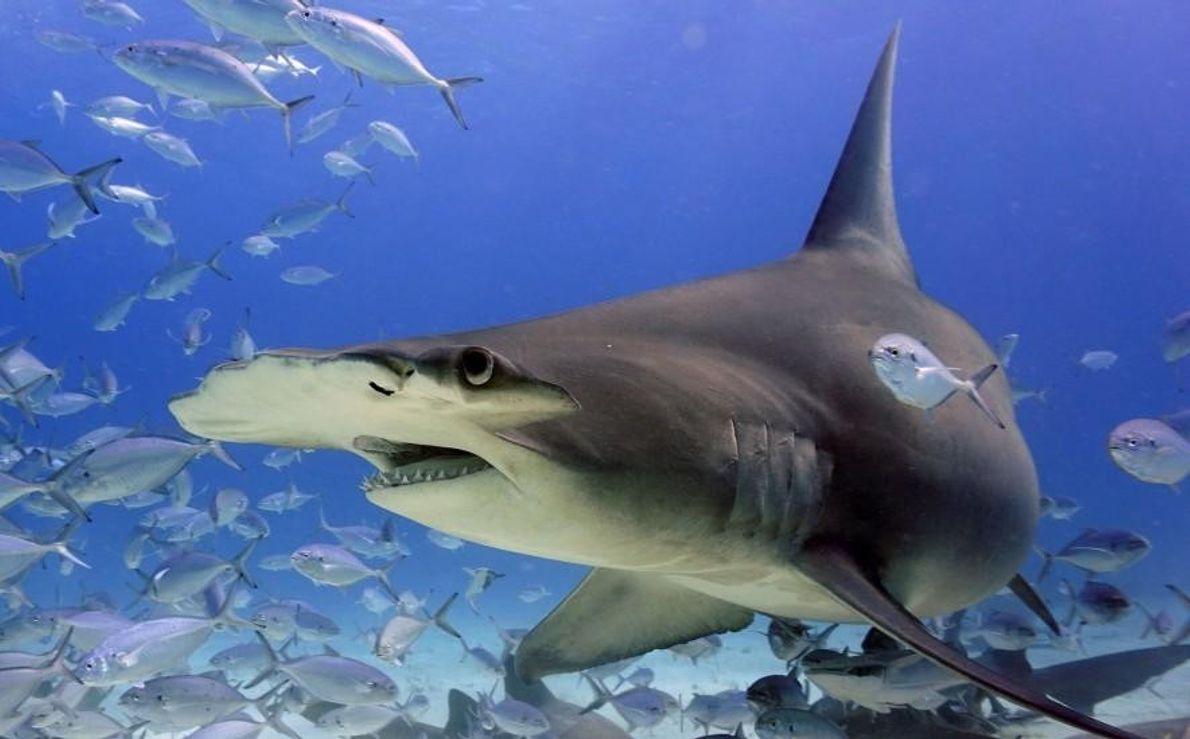 Un requin-marteau navigue entre des poissons argentés.