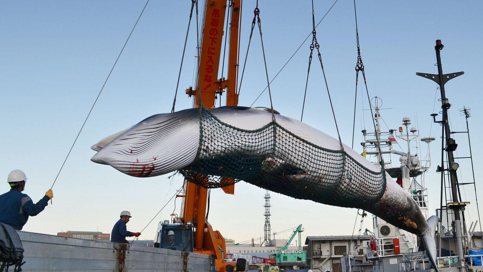Les baleines de Minke, comme celle ci-dessus déchargée dans un port japonais, ont été ciblées par ...