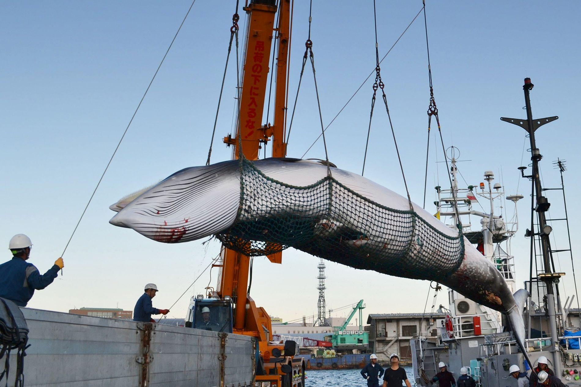 Les baleines de Minke, comme celle ci-dessus déchargée dans un port japonais, ont été ciblées par le programme de « pêche à la baleine à visée scientifique » du pays.