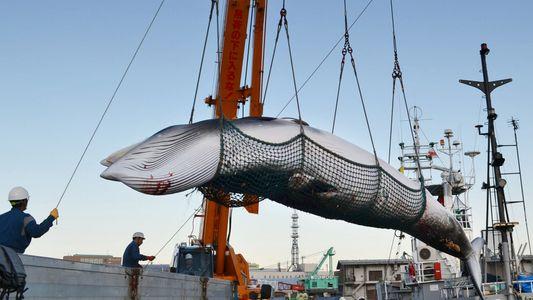 Le Japon reprend la pêche commerciale à la baleine