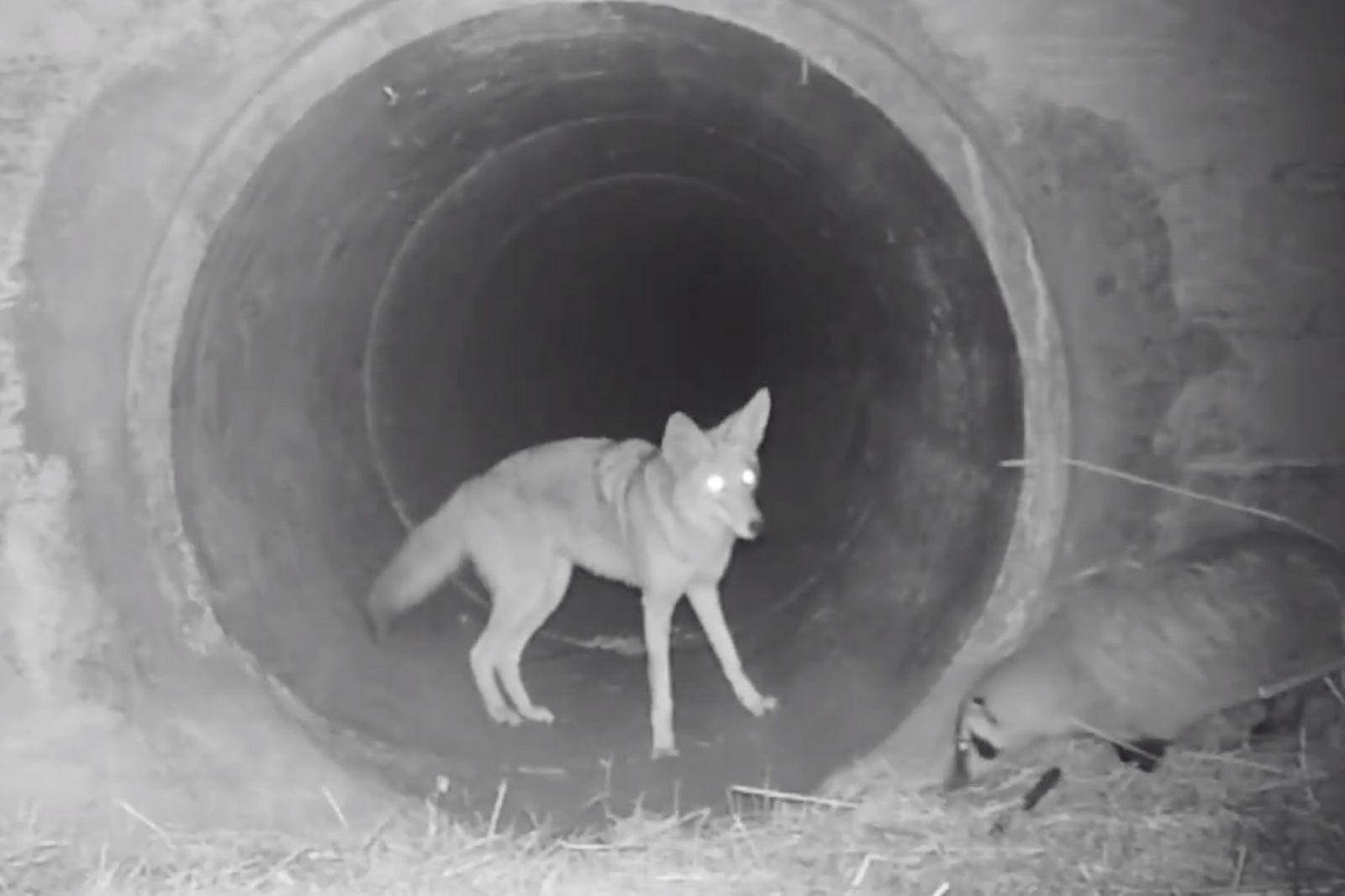 Le coyote et le blaireau, une « amitié » qui fascine les scientifiques