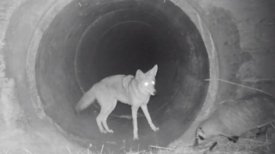 Un coyote attend qu'un blaireau le suive pour emprunter un écotunnel au sud des Monts Santa ...