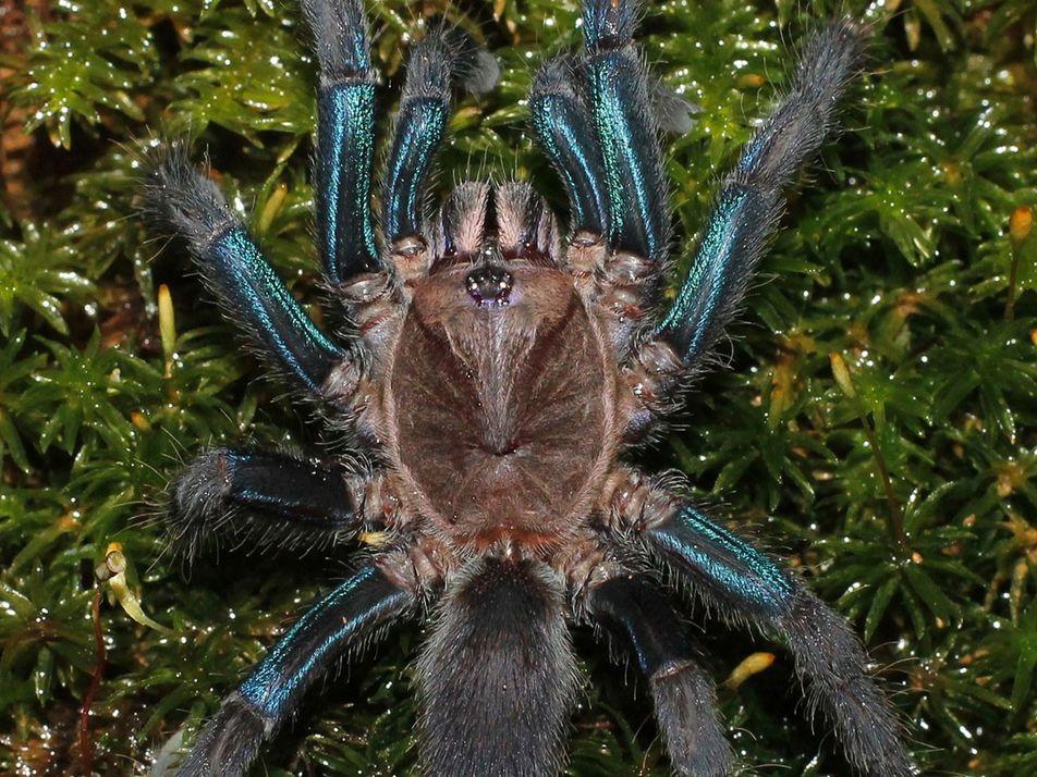 Découverte d'une mygale bleue scintillante au Sri-Lanka