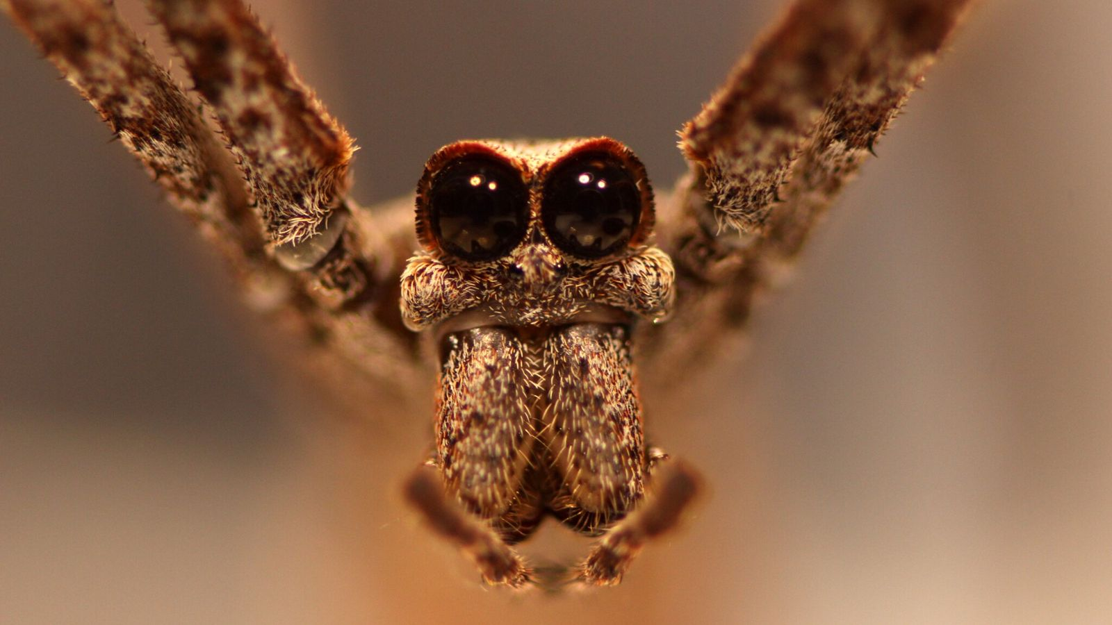 Les araignées deinopis possèdent huit yeux, mais les deux orbes massifs orientés vers l'avant sont de loin les ...