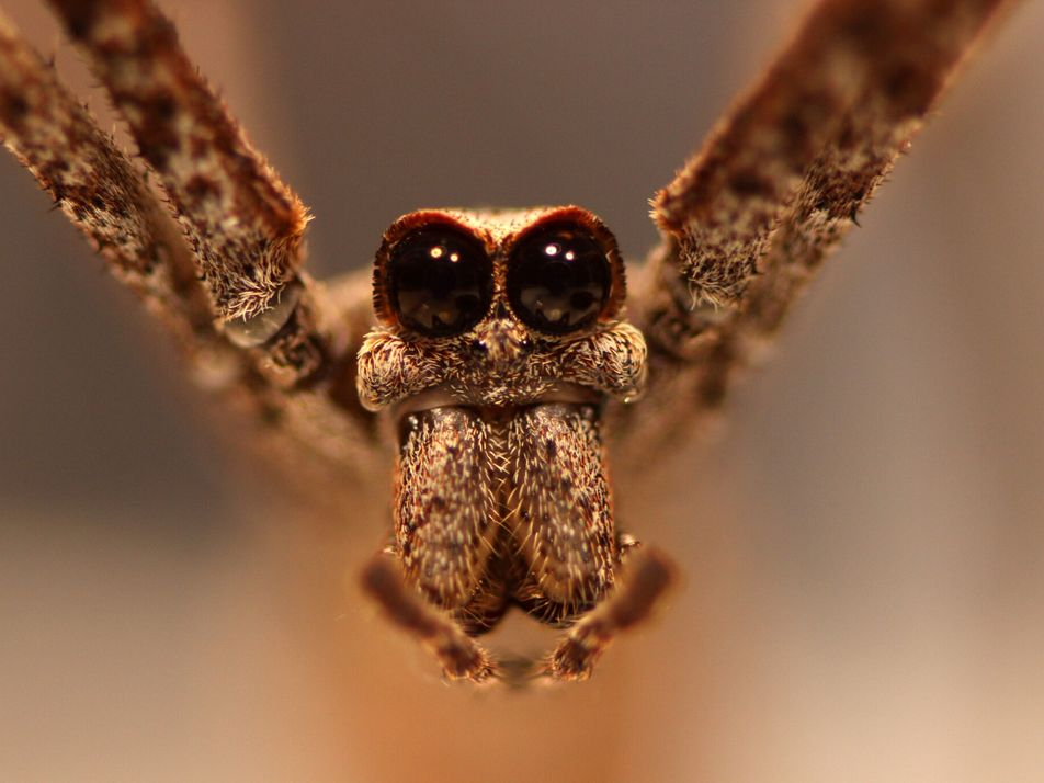Comment cette araignée peut-elle entendre... sans oreilles ?