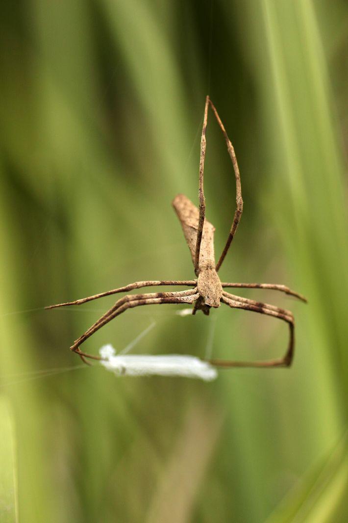 Selon une nouvelle étude, les araignées deinopis tissent d'abord leur toile, puis attrapent des insectes volants en ...