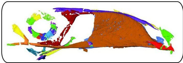 Scanner de Falcatakely forsterae fossilisé, dévoilé par l'Université de l'Ohio le 25 novembre 2020.