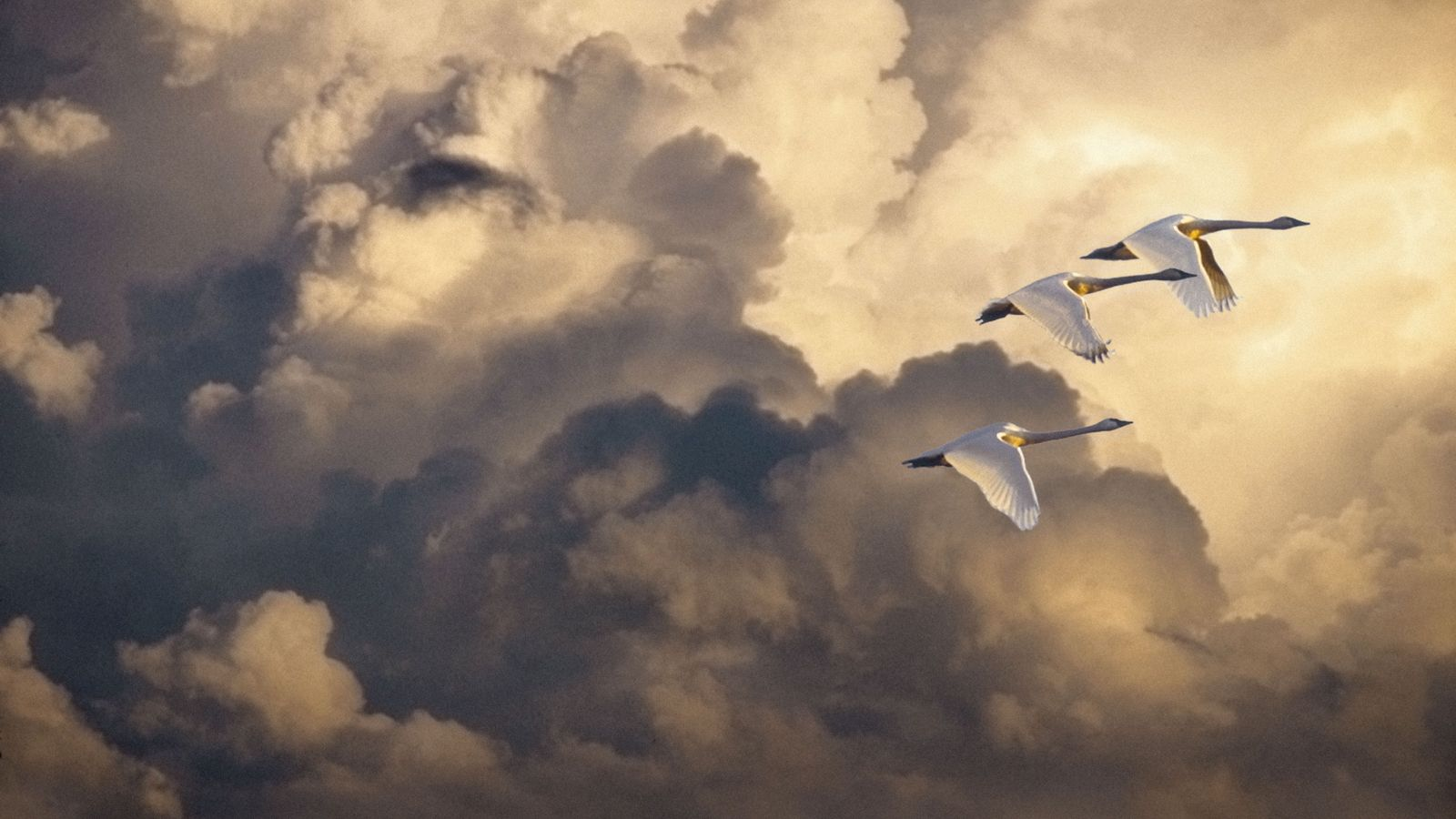 Trois cygnes siffleurs partis de l'Arctique, où l'espèce se reproduit, volent vers la côte pacifique des ...