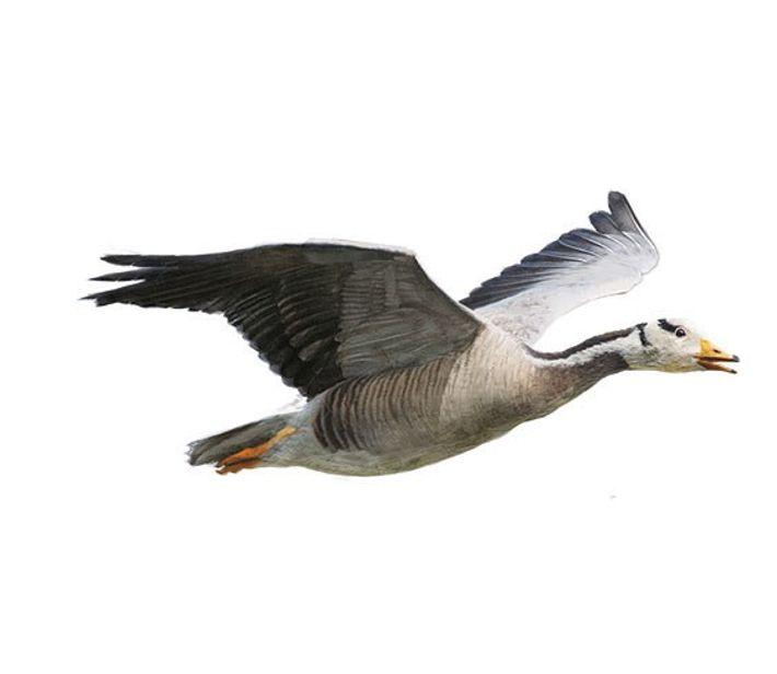 L'oie à tête barrée se reproduit de mars à mai. Son envergure : 74 cm.