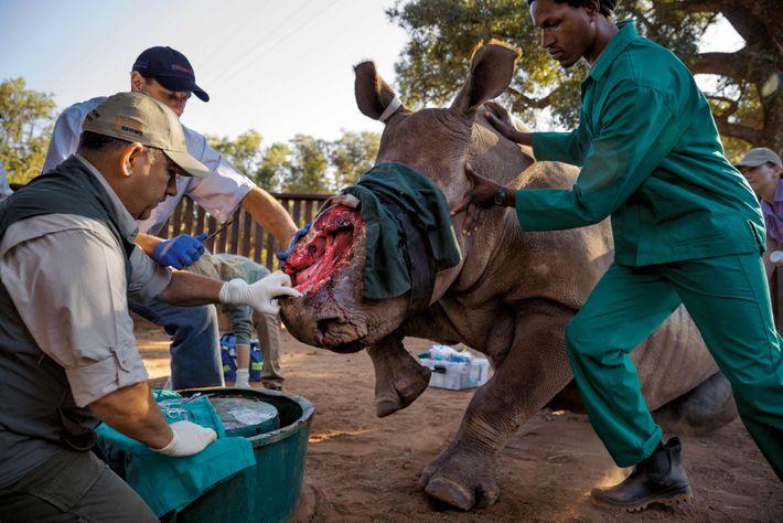 Johan Marais, un vétérinaire, va essayer un nouveau traitement (des bandes de caoutchouc utilisées en chirurgie ...