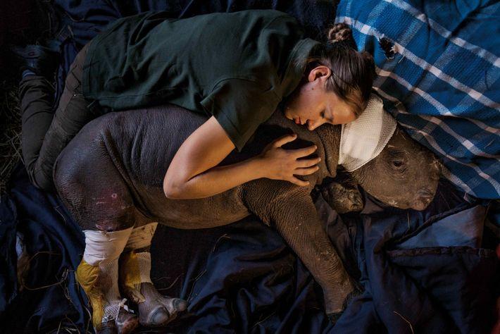 Cette jeune rhinocéros, dont la mère a été tuée dans le parc Kruger, se trouve désormais ...