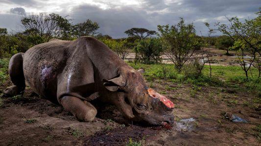 Élevage contre braconnage, la guerre du rhinocéros