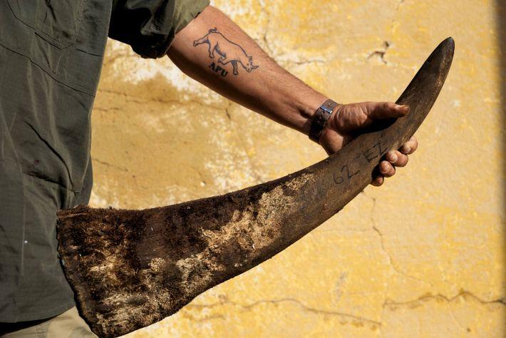 Un agent de sécurité tient une corne de rhinocéros, dans le ranch de John Hume, le ...