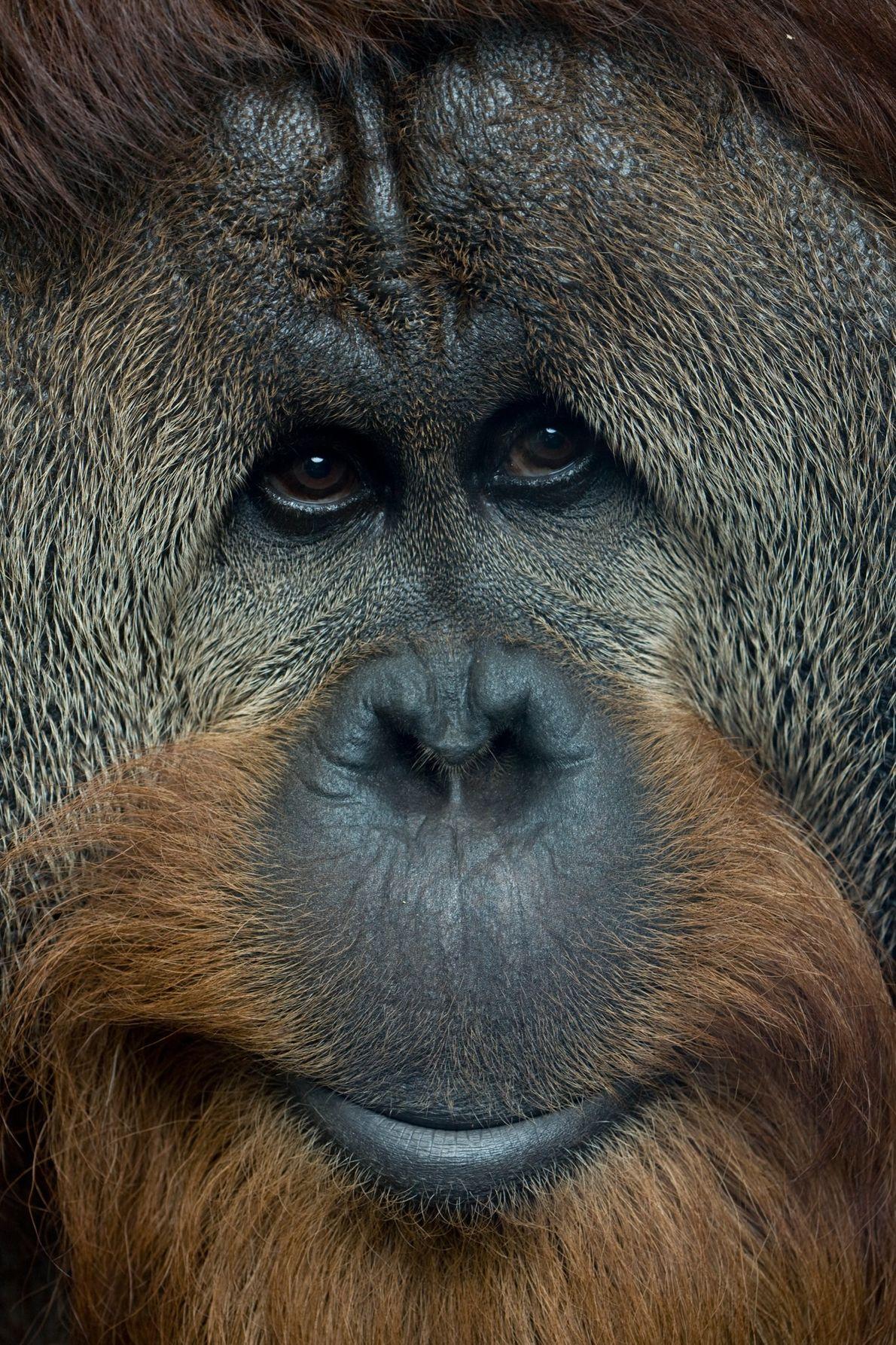 Dans la nature, des populations individuelles d'orangs-outans ont développé des comportements uniques, comme celui d'utiliser des ...