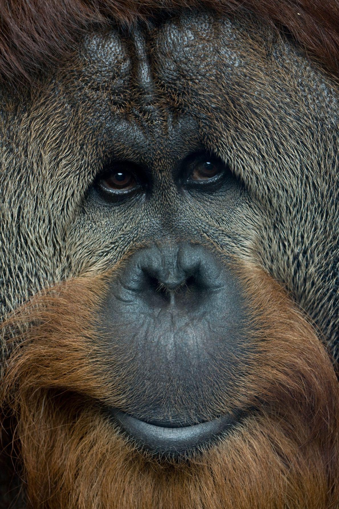 Dans la nature, des populations individuelles d'orangs-outans ont développé des comportements uniques, comme celui d'utiliser des …