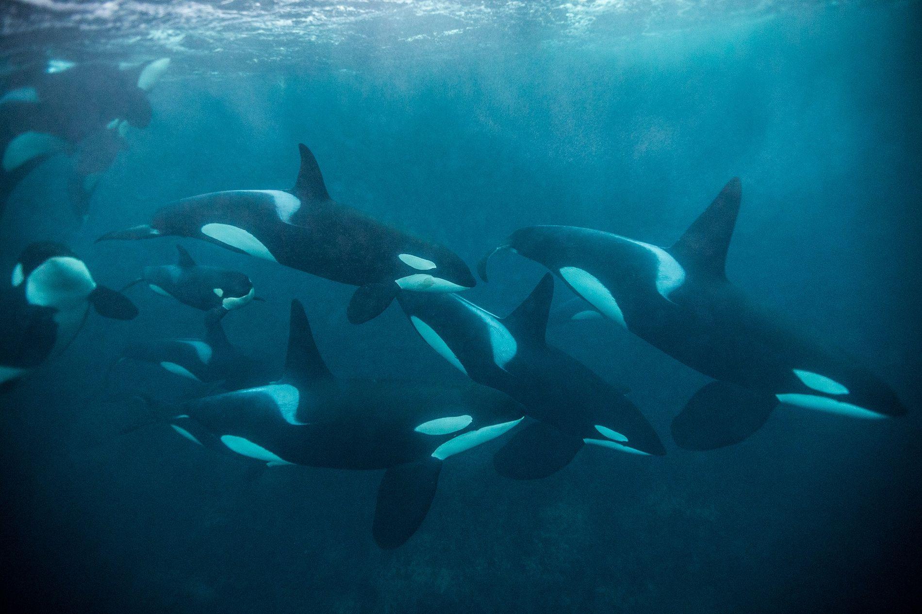 orca-animal-stepdad-2