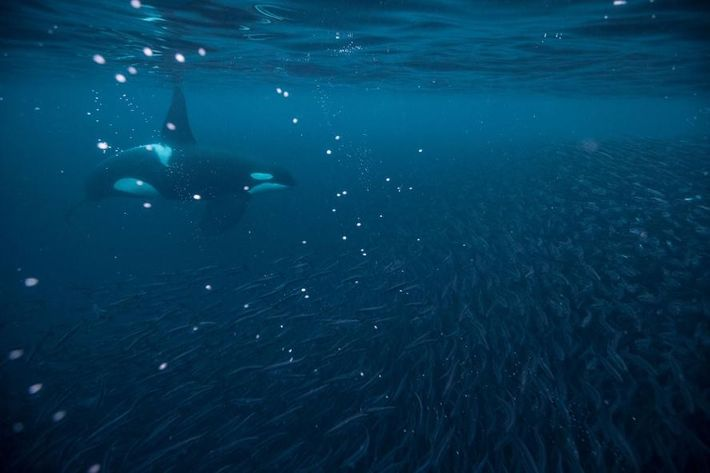 Une nouvelle étude révèle que les orques du monde entier sont menacées.