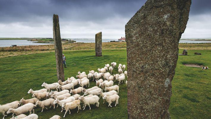 Au cœur des Orcades, des moutons broutent entre les pierres levées de Stenness, vestiges vieux de ...