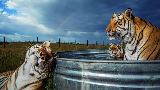 Les tigres sont aujourd'hui plus nombreux en captivité aux États-Unis qu'à l'état sauvage dans le monde ...