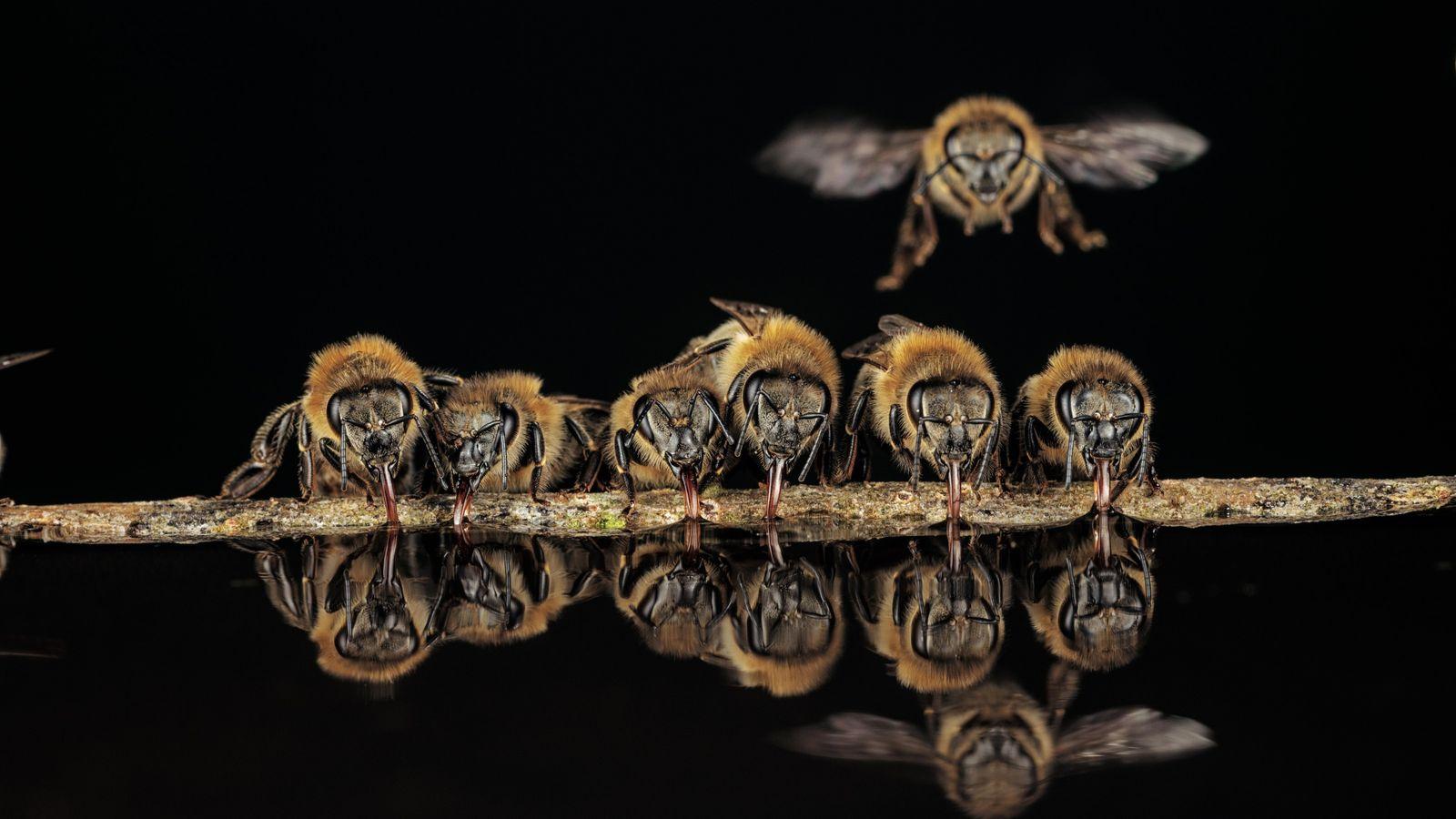 A Langen (Allemagne), des abeilles européennes aspirent de l'eau avec leur trompe tubulaire. Puis elles rapporteront ...