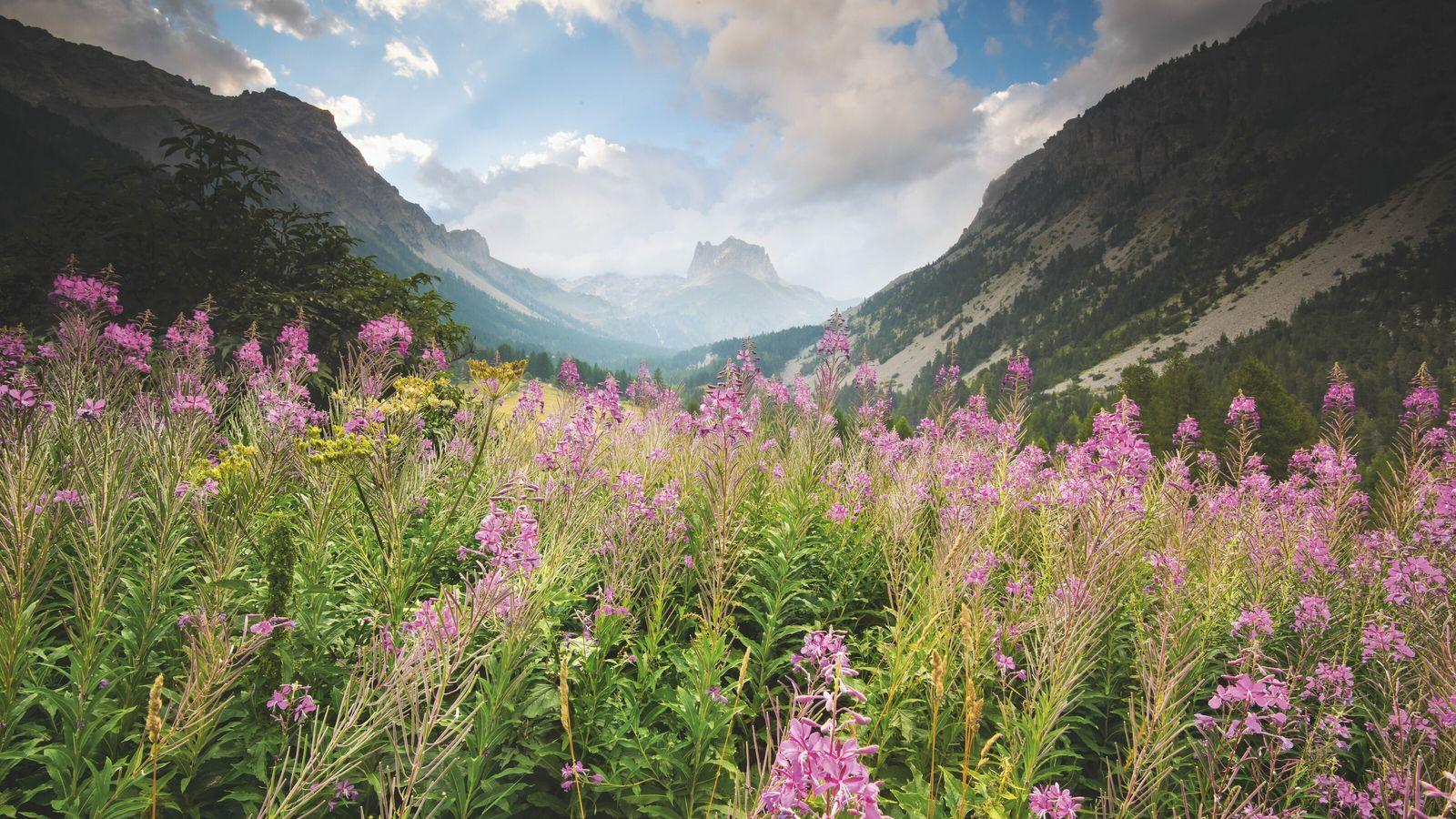 La floraison des épilobes annonce l'arrivée de l'été dans cette vallée alpine proche du mont Thabor.