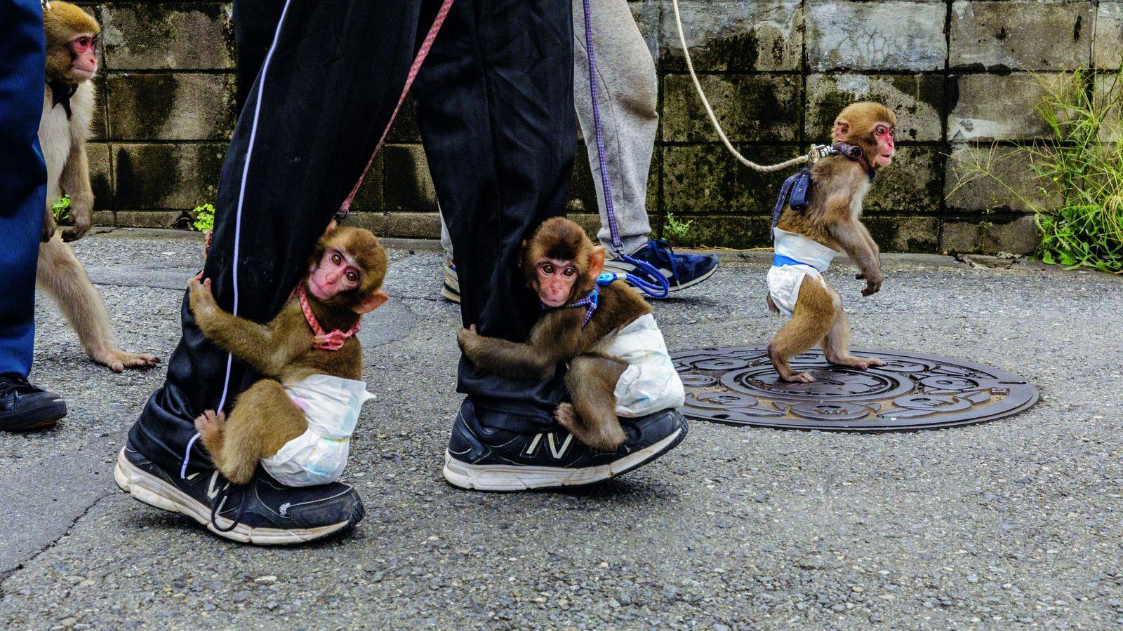 Entraînement au sarumawashi (spectacle de singes). On apprend à ces jeunes macaques à s'asseoir sur de ...