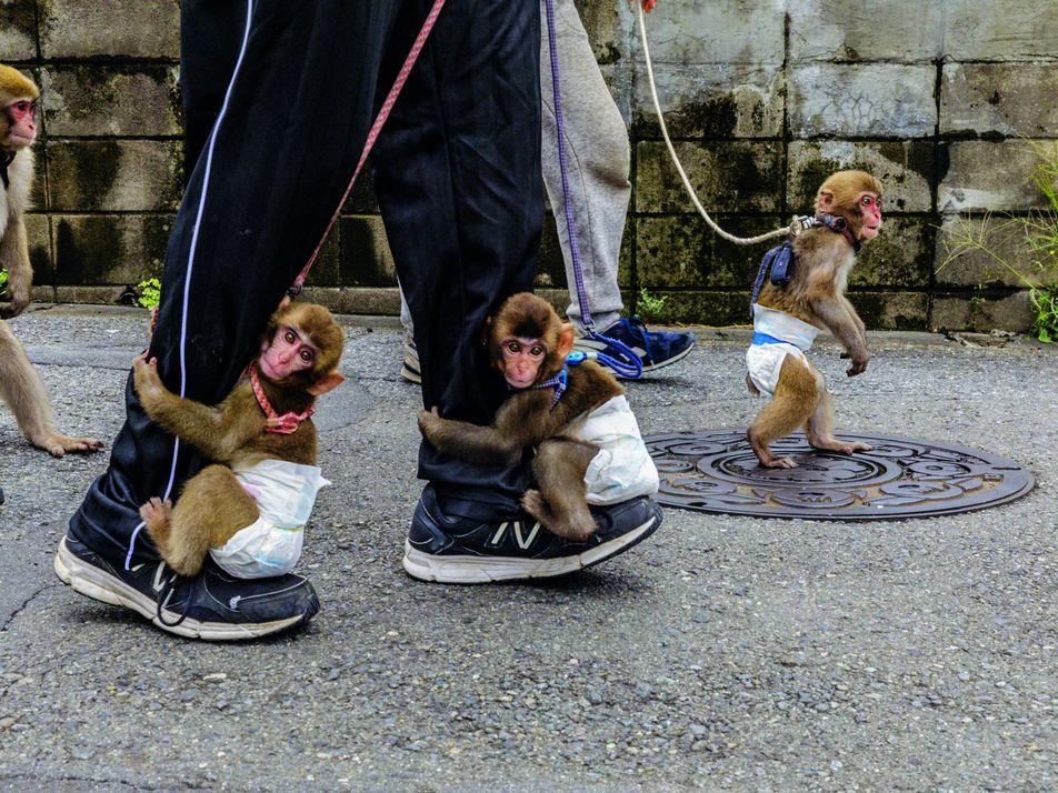 Spectacles de singes au Japon : entre traditions et maltraitance
