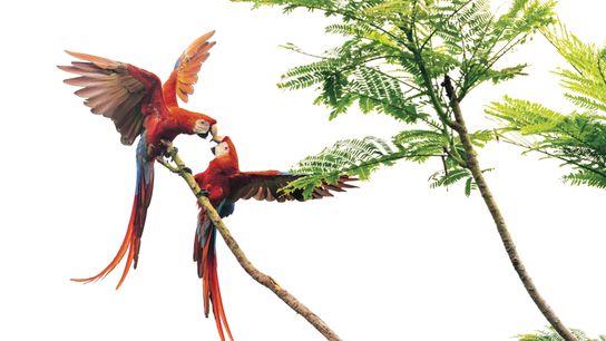 Un couple d'aras rouges, dans la péninsule d'Osa, au Costa Rica. Réduction de l'habitat et commerce ...