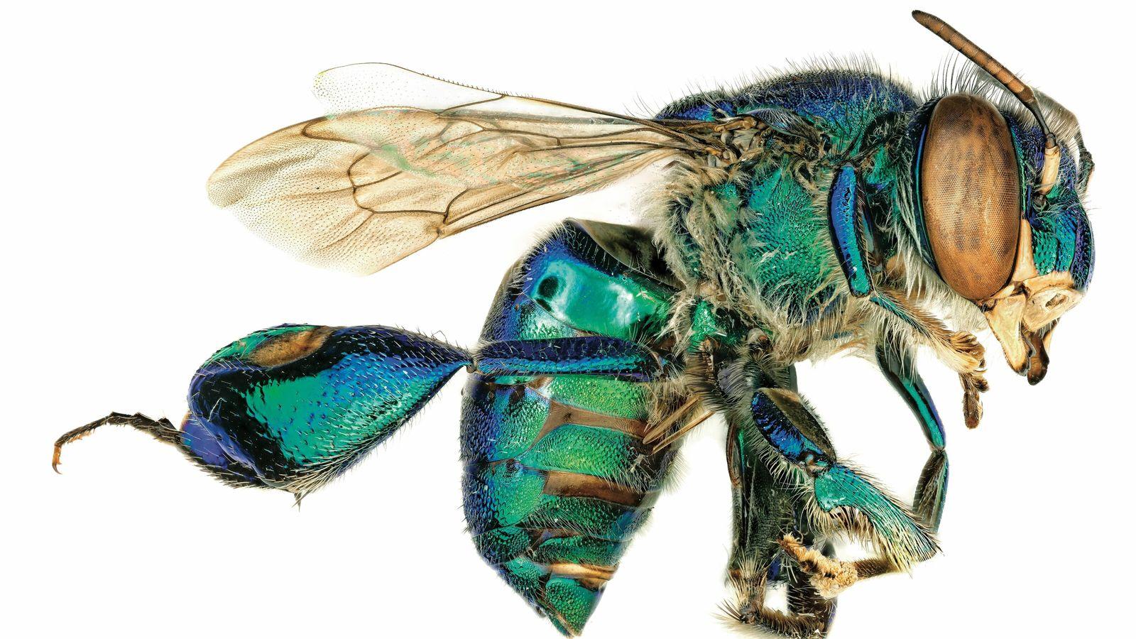 Des euglossines (ou abeilles à orchidées), cousines des bourdons et des abeilles mellifères, figurent parmi la ...