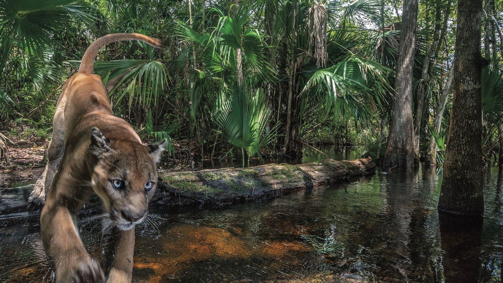 Une panthère mâle franchit un ruisseau, dans le Florida Panther National Wildlife Refuge, dans le sud-ouest ...