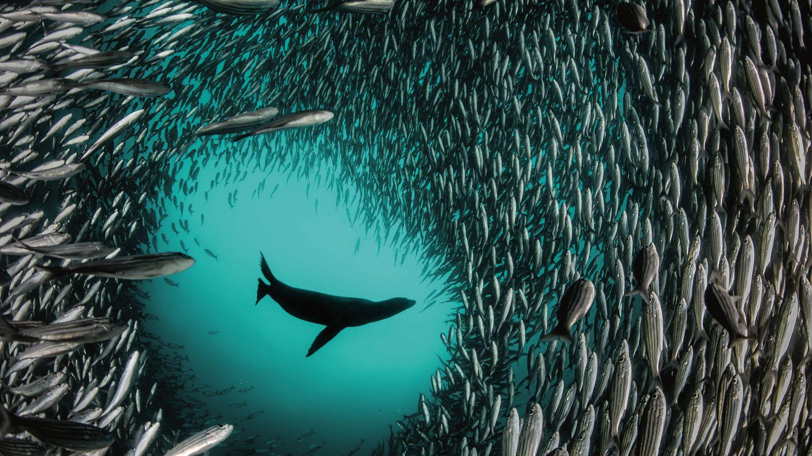 Dans les Galápagos, au large de l'île Isabela, un banc de Xenocys jessiae cède la place ...