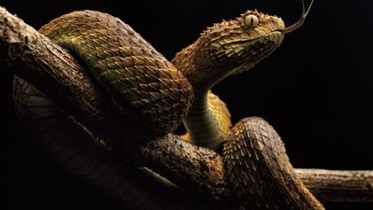 Les morsures de serpents tuent des dizaines de milliers d'Africains chaque année