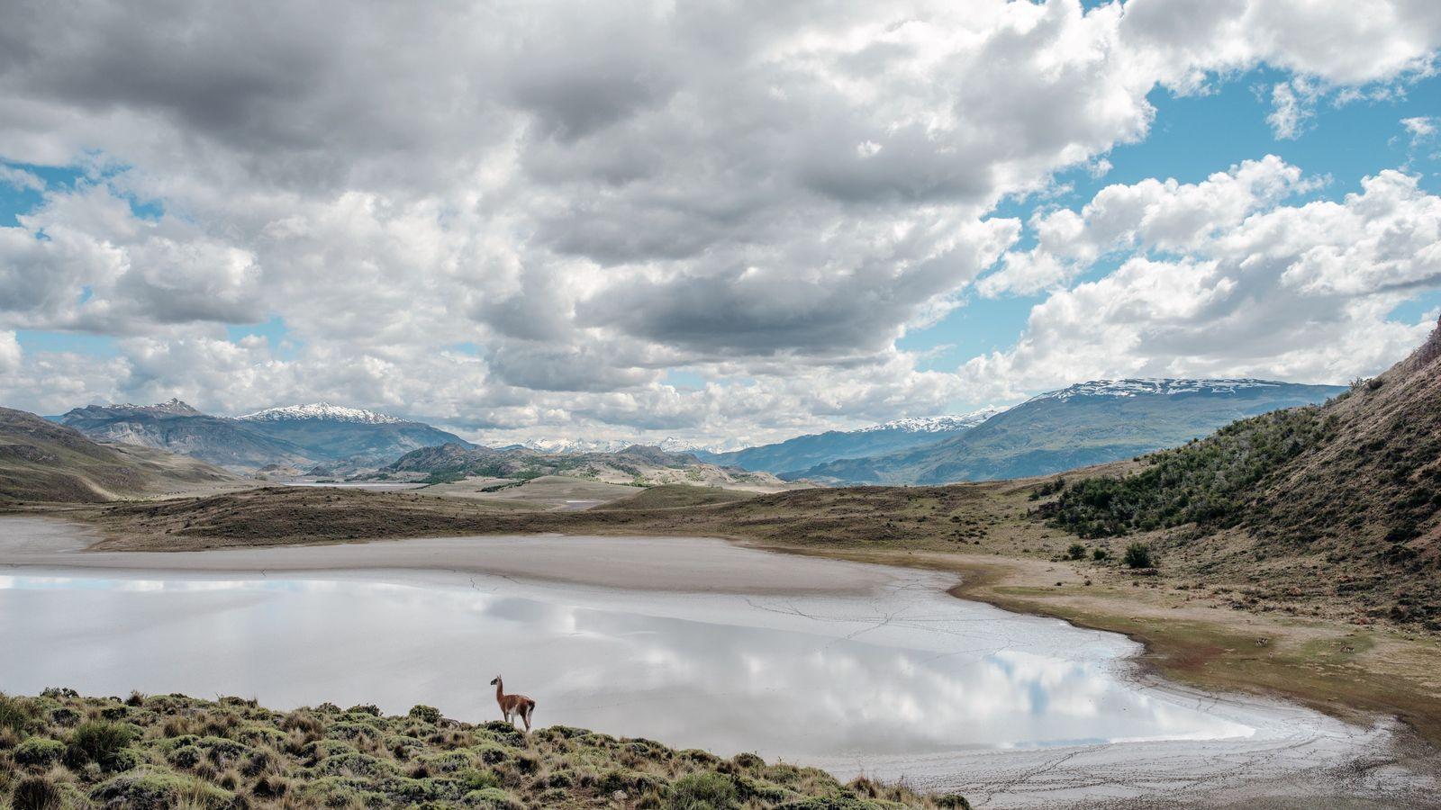 Un guanaco (lama sauvage) boit à Laguna Seca, dans le parc national de Patagonie (Argentine), composé ...