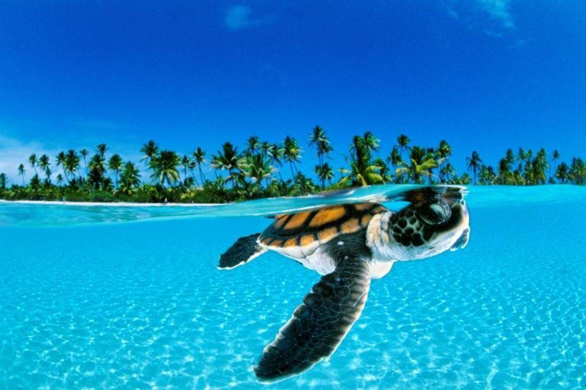 En quête de quiétude, un bébé tortue verte nage en direction de l'océan, au large de ...