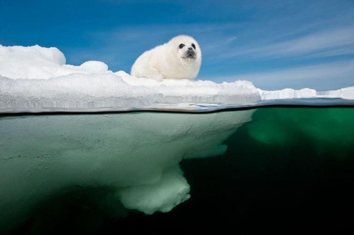 Dans le golfe du Saint-Laurent, non loin des îles de la Madeleine, au Québec, un bébé ...