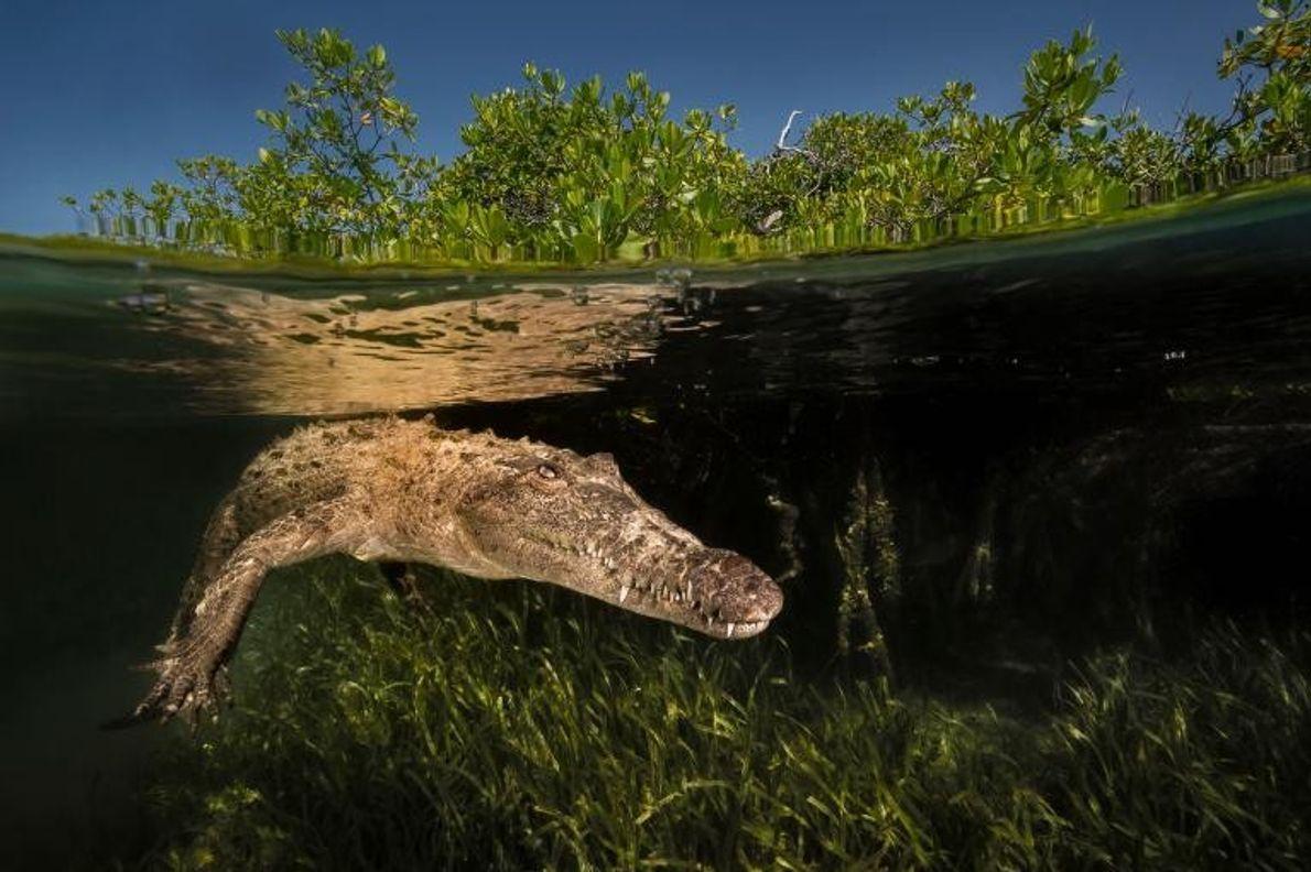 Un crocodile américain navigue à travers les mangroves du parc national Jardines de la Reina, à ...