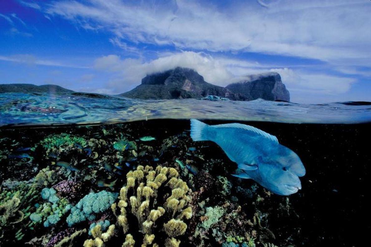 Des pics volcaniques érodés surplombent les eaux où se faufile un labre géant, une espèce de ...