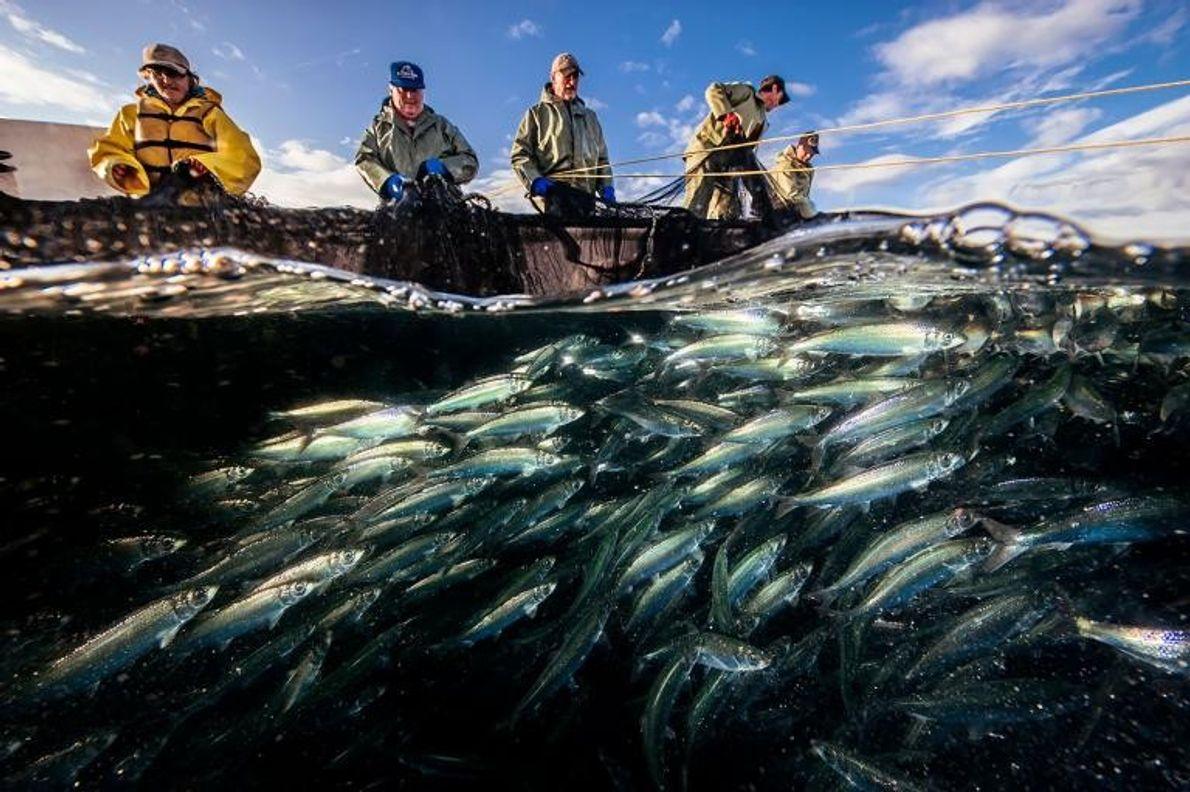 Dans le détroit de Belle Isle, non loin de Raleigh, au Canada, un équipage de pêcheurs ...
