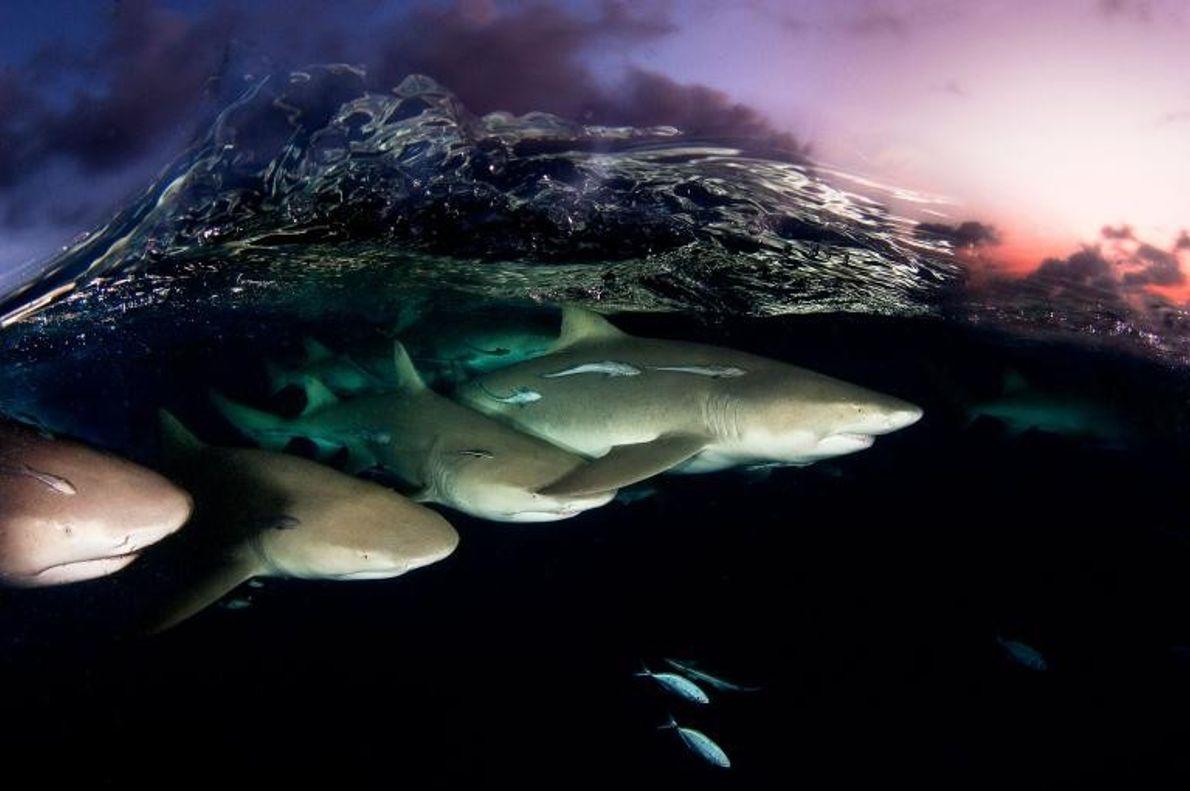 Sous le crépuscule des Bahamas, une vague cristalline se brise sur un banc de requins-citrons. Les ...