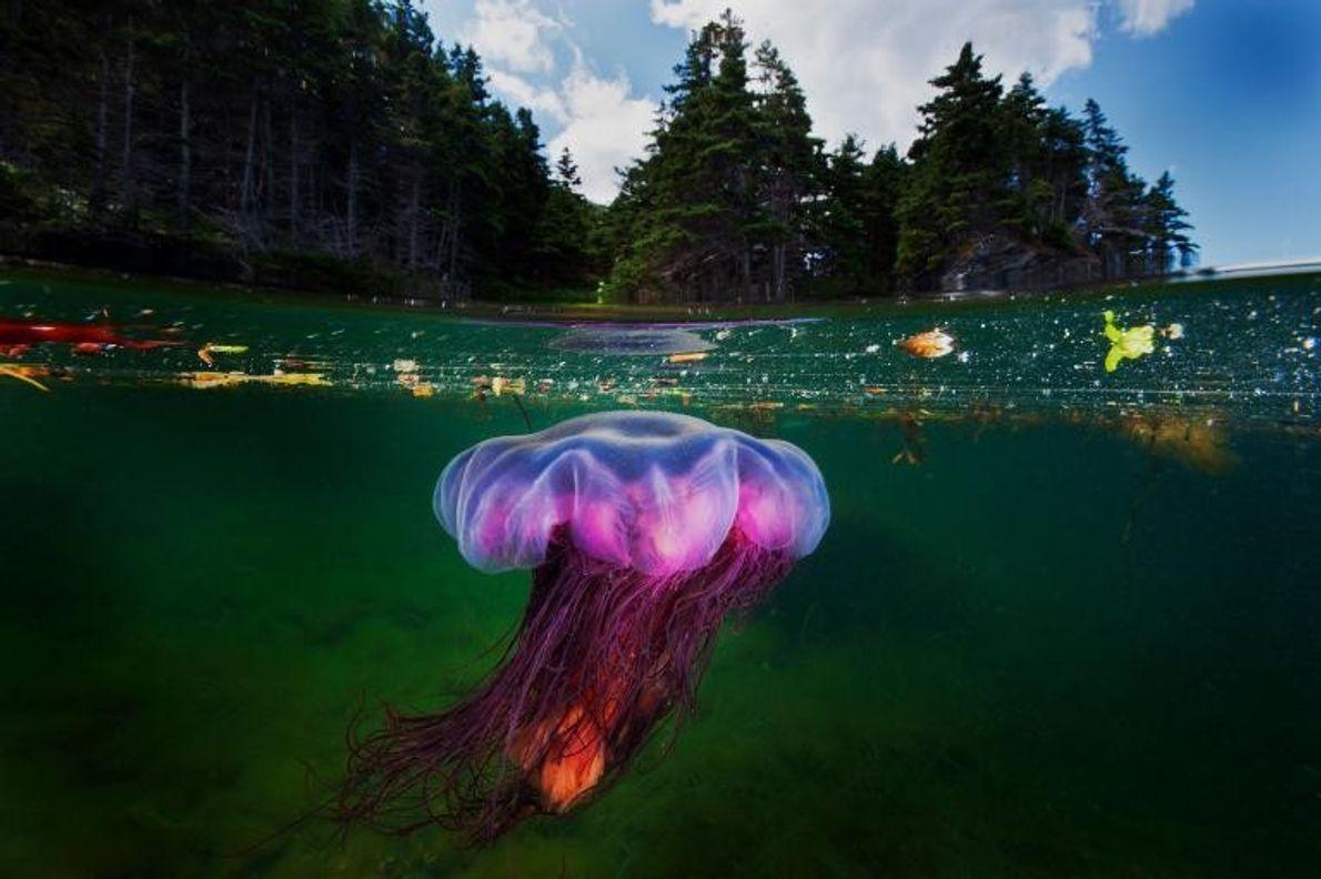 Une forêt de conifères surplombe une cyanée capillaire, également appelée méduse à crinière de lion, qui ...