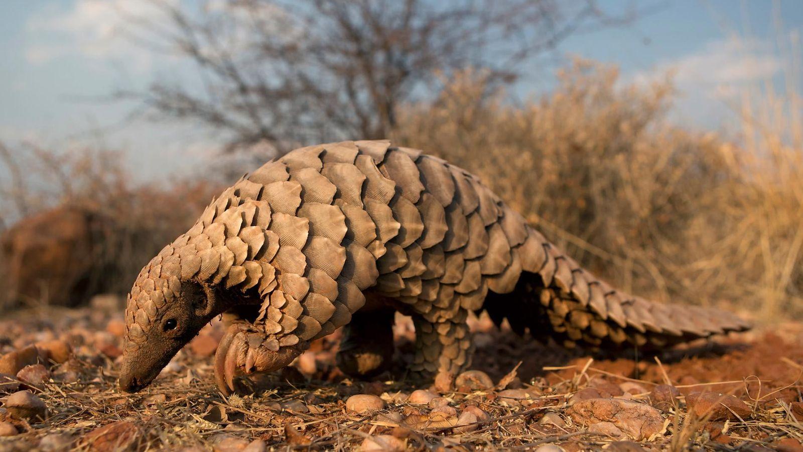 Un pangolin est ici photographié en Namibie. Le gouvernement namibien soutient les programmes de protection du ...