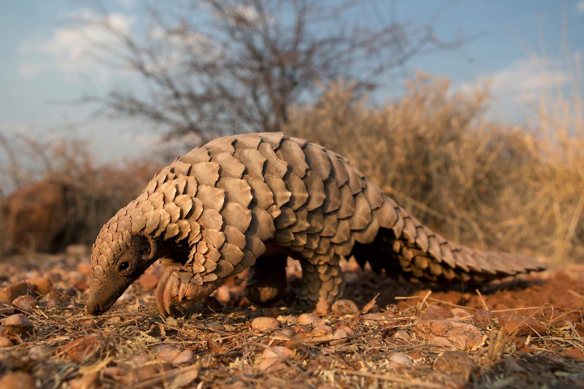 Un pangolin est ici photographié en Namibie. Le gouvernement namibien soutient les programmes de protection du vulnérable animal.